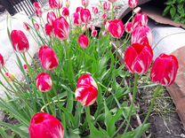 Цветы и луковицы Тюльпаны