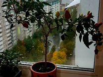 Перец жгучий — Растения в Екатеринбурге
