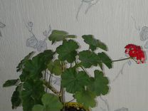 Цветы герани хлорофиттум замиокулькас — Растения в Екатеринбурге